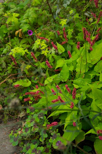 persicaria golden arrow  653