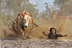 Cow Race ~ The fall (Impian) Tags: race sumatra indonesia cow padang jawi pacu batusangkar tanahdatar alwaysexc