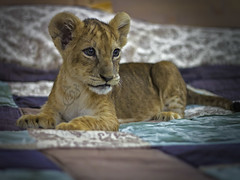 Lioness on my bed (BinHaider) Tags: canon 50mm 7d kuwait f18 lioness  mahdi        binhaider