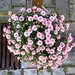 Pink Flowers - Idstein, Germany