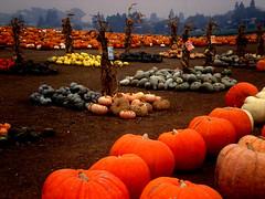 Overcast Day in the PUMPKIN PATCH, Ventura, CA. USA (BudCat14/Ross) Tags: ca autumn pumpkins pumpkinpatch ventura blinkagain bestofblinkwinners