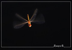 Nighty flying Dragonflay (Amrou A) Tags: dark nikon dragonfly background nikkor {addyourkeywordsseparatedbysemicolons} 150500mm d7000 ringexcellence blinkagain amroua