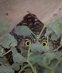 Peek-a-Hoot (#1, Explore) (MistyDays / CB) Tags: california bird nature animal yellow vertical america desert natural wildlife olympus explore owl southerncalifornia agriculture 50200mm athene owls sonorandesert avian yelloweyes burrowingowl elcentro littleowl charleneburge californiawildlife neartheborder 1explore e620 charlenemburge copyrightcharlenemburge highestposition15ontuesdayoctober252011 highestposition1ontuesdayoctober252011