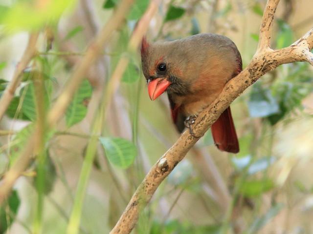 Northern Cardinal 3-20111024