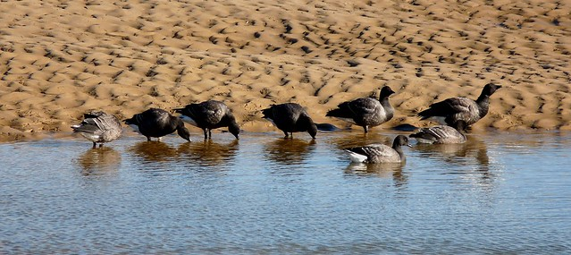 25179 - Brent Geese, Wells-next-the-Sea
