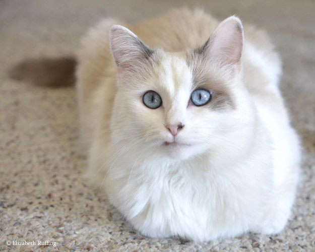 Josephine kitty with pretty blue eyes