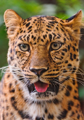 無料写真素材, 動物 , 豹・ヒョウ
