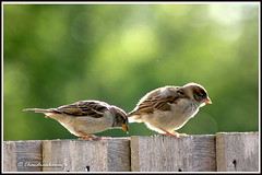 1730 house sparrows (chandrasekaran a 546k + views .Thanks to visits) Tags: nature birds boston us sparrows housesparrows canon60d blinkagain bestofblinkwinners