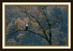 Bald Eagle in Autumn (S&B Photos) Tags: autumn usa fall nature field birds animals canon river season outdoors rebel hope golden flying kent fishing woods backyard sitting colours harrison natural forrest eagle hawk song wildlife hunting wing bald feather trails american raptor swamp otter wetlands environment canonrebel marsh paths prey fraser northern 500mm habitat wingspan marshland avian harrier xsi treetop birdwatcher agassiz northernharrier 1000mm strea 450d 55250mmlens canon55250mmlens