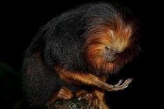 Golden-headed lion tamarin (Jim Skovrider) Tags: nature animal denmark zoo nikon natur nikkor danmark regnskoven randers randersregnskov regnskov goldenheadedliontamarin sb900 adobephotoshoplightroom d300s nikond300s afsdxnikkor18200mmf3556gedvrii