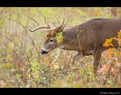 Head Down (Hamilton Images) Tags: ohio canon mammal october deer toledo buck 500mm whitetaileddeer odocoileusvirginianus 2011 10point 14xteleconverter img9241 5dmarkii