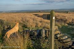 Bridleway, Slate Delfs Hill, Calderdale (Midgehole Dave) Tags: dog yorkshire polly signpost moor footpath rhodesianridgeback calderdale sowerby slatedelfs yahoo:yourpictures=myautumn