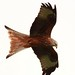 Red Kite @ Argaty2