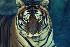 Rio Safari, Elche. (Muta Takes A Picture) Tags: cats rio big nikon feline tiger safari tigers elche d60 flickrbigcats