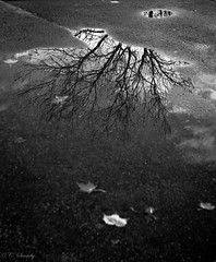 Autumn seen through a pond (CecilieSonstebyPhotography) Tags: autumn trees blackandwhite bw reflection tree water leaves oslo vigelandsparken canon leaf october branches frognerparken canoneos frognerpark 2011 sigma30mm canon60d canoneos60d