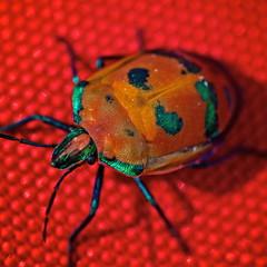 ?????   but beautiful (Deb Jones1) Tags: red orange macro nature beauty canon insect outdoors 1 jones beetle bugs explore deb flickrduel