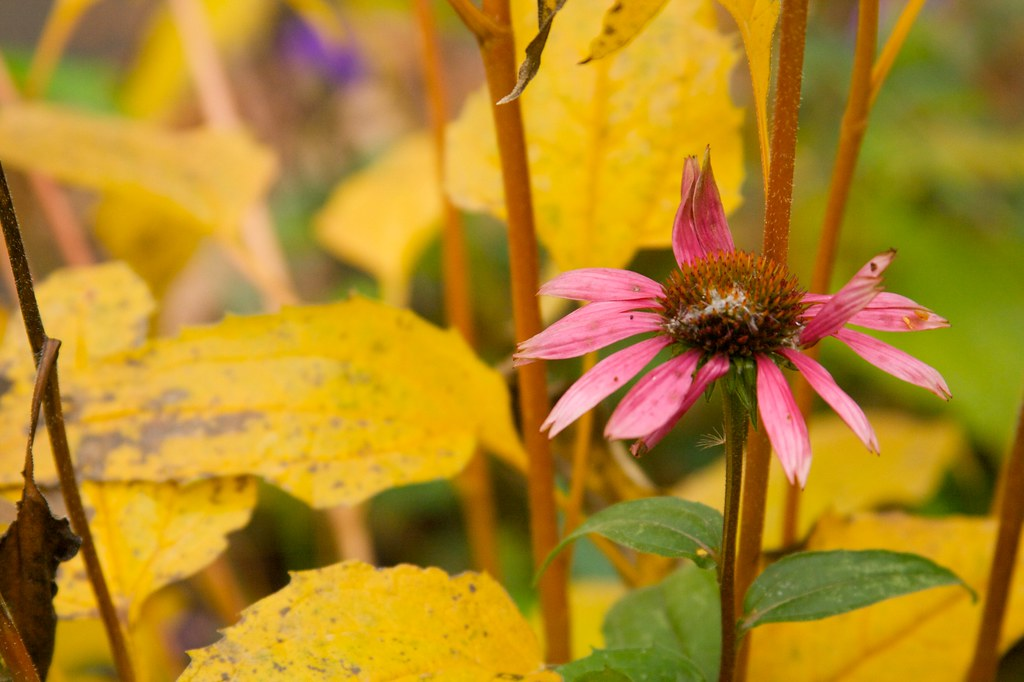echinacea purpurea  963