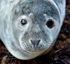 Grey seal pup (JanuaryJoe) Tags: scotland orkney kirkwall scapa
