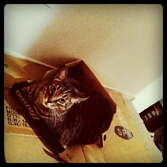 He leaves no new box unchartered, especially the cardboard ones. (Miss Bertina) Tags: pet cats cute animal cat square fur toy mammal furry kitten adorable kitty cardboard squareformat hefe shoebox cardboardbox boxtoy iphoneography instagramapp uploaded:by=instagram
