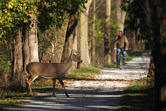 Right of Way (Gator 5) Tags: park path deer trail toledo bicyclist yield towpath maumee standoff metropark sidecut