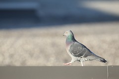 "Pigeon Walk • <a style=""font-size:0.8em;"" href=""http://www.flickr.com/photos/27717602@N03/6370162843/"" target=""_blank"">View on Flickr</a>"