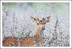 Life in the Shrubs (Sara-D) Tags: life nature animals fauna asia wildlife deer sl lanka spotted srilanka ceylon lk mammals shrubs axis deva yala wildanimals southasia sarad cervidae spotteddeer axisaxis saranga mammalsofsrilanka sarangadevadealwis sarangadeva