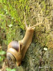 After the rain (Ubud, Bali) (Saki Ono) Tags: bali nature beautiful rain animal movement slow shell snail after antenna ubud