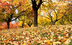 Million Colours :) (Amir Mukhtar Mughal | www.amirmukhtar.com) Tags: autumn trees pakistan red tree fall colors leaves yellow canon colours autumncolours amir hunza mughal mughals pakistanphotos pakistanimages pakistanpictures pakistanphotography amirmukhtar autumninpakistan wwwamirmukhtarcom amirphotog000946hunza