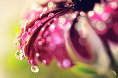 Dress-up (y2-hiro) Tags: light flower macro drops nikon bokeh d300 700mm