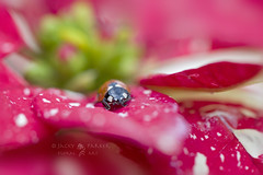Christmas Lady (Jacky Parker Photography) Tags: christmas pink red plant art nature floral leaves horizontal closeup fauna garden insect landscape star flora wildlife poinsettia creative cream ladybird ladybug softfocus orientation bracts