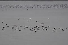Entenansammlung in der Fußacher Bucht, NGIDn1229534815 (naturgucker.de) Tags: vorarlberg sterreich naturguckerde chorstschlter rheindeltalinksrheinisch ngidn1229534815