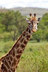 2011-11-06 08-20-05 (Scott Grubb) Tags: wildlife masaimara giraffegiraffacamelopardalis kenyanovember2011