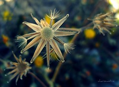 Una estrella en el jardn / A star in the garden (Charo Castro) Tags: alicante dientedelen comunidadvalenciana florasilvestre