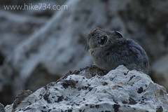 "Pika on Limestone • <a style=""font-size:0.8em;"" href=""http://www.flickr.com/photos/63501323@N07/7004831483/"" target=""_blank"">View on Flickr</a>"