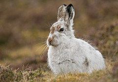 Mountain Hare on look out (Margaret J Walker) Tags: nature scotland spring highlands wildlife mountainhare specanimal nikond300s