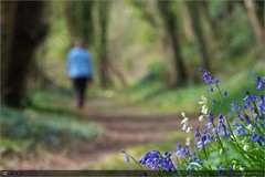 A Forest Walk (bbusschots) Tags: wood ireland flower forest walking spring path carton wildflower bluebell maynooth pathway kildare hyacinthoides hyacinthoidesnonscripta cartonestate