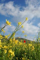 Castelluccio di Norcia - Fiorita (Nikon'Girl) Tags: fiori umbria norcia castelluccio paese gialli fiorita lenticchie castellucciodinorcia