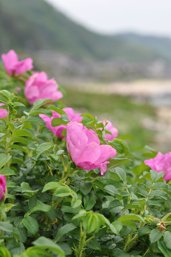 ハマナスの咲く丘~笹川流れ