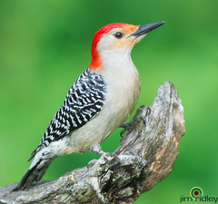 The Red-bellied Woodpecker (JRIDLEY1) Tags: woodpecker redbelliedwoodpecker redbellied carolinus melanerpes jridley1 jimridley httpjimridleyzenfoliocom nikond3s mygearandme photocontesttnc11 photocontesttnc12