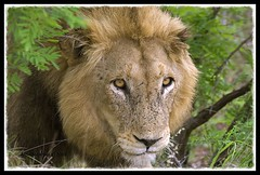 Male lion (Arno Meintjes Wildlife) Tags: africa park camp wallpaper nature animal southafrica mammal bush wildlife lion safari bigcat predator krugernationalpark carnivore big5 knp pantheraleo parkstock arnomeintjes louisemeintjes flickrbigcats