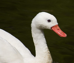 Coscoroba Swan #4 - Llanelli WWT Spring 2011 (PontyCyclops) Tags: red duck llanelli wetlands tufted crested wwt pochard coscoroba