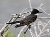 Eastern Kingbird (AllHarts) Tags: nature easternkingbird awesomebirds biglakewma pogchallengewinnershalloffame manilaarkansas pickyourart naturespotofgoldlevel2 stunninganimalsandbirds naturespotofgoldlevel1 birdsbirdsbirdsbirdsyougetthepoint