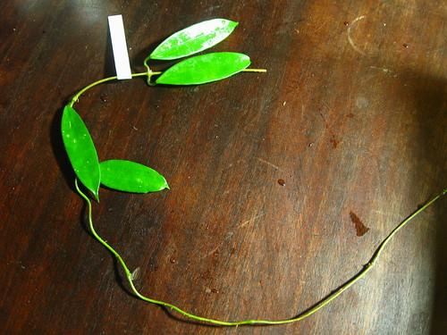 Hoya griffithii (IML 1856)