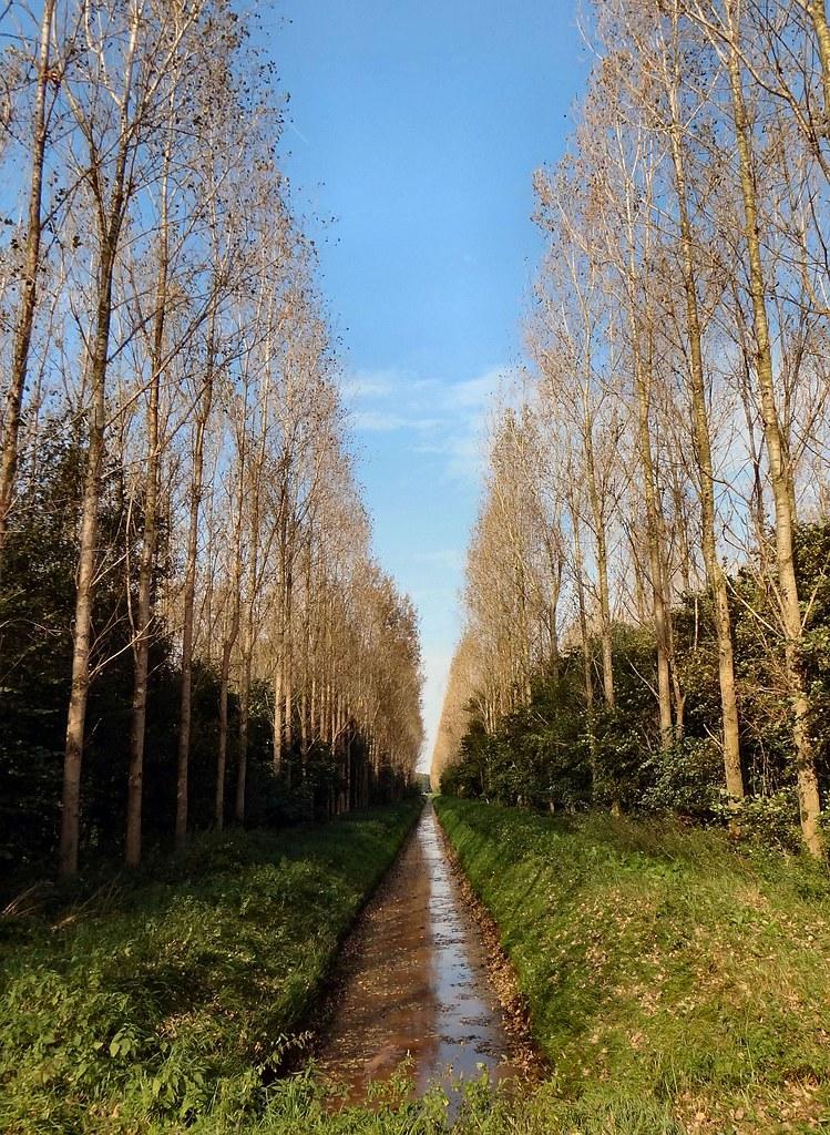 High Production. Poplar Plantation near Harkstede, Groningen, The Netherlands
