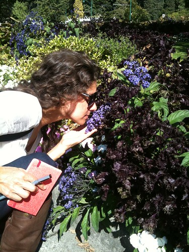Purple Shiso & Heliotrope @ The Rose Garden