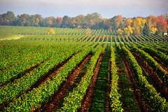 fall vineyard (tonnyc) Tags: autumn fall texture vineyard grapes lanscape