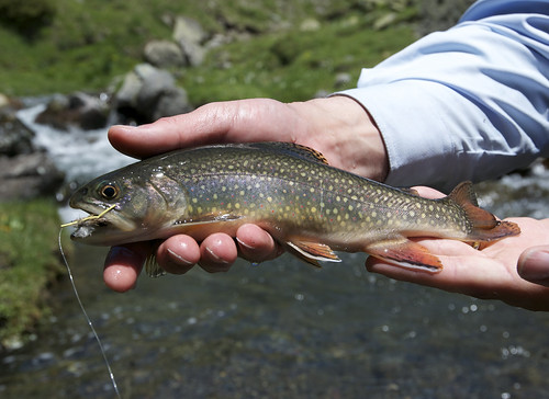 Pyrenees Brook Trout