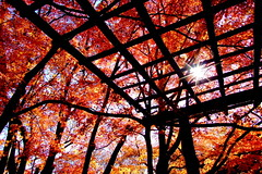 (( _`) Sho) Tags: autumn japan maple kyoto