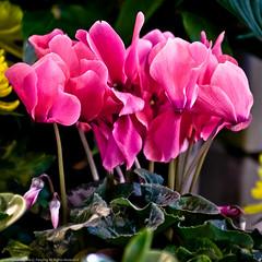 Splash (MattPenning) Tags: red flower green petals pentax blossoms magenta potd stems blooms k5 springfieldillinois mattpenning kmount mattpenningcom penningphotography justpentax pentaxda1650mmf28edalifsdm pentaxk5