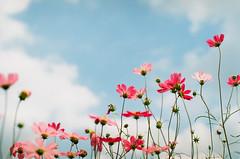(ashmoca) Tags: blue sky flower film nature japan 50mm for nikon f14 pray snapshot snap osaka f3 lovely nikkor portra cosmos nicon portra400